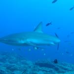 Tauchgang vor Cocos Island mit Actionpro